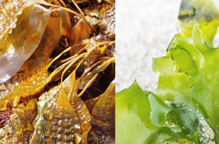 Au fil des algues bretonnes