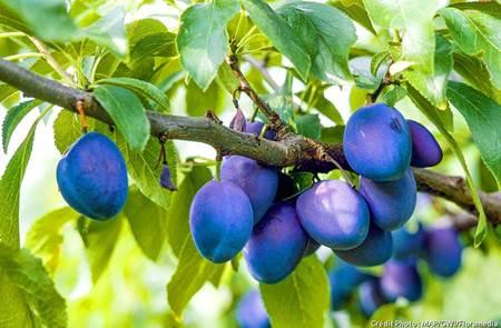 Atelier fruitiers : les pruniers
