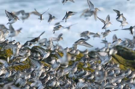 Les oiseaux migrateurs de la ria d'Etel